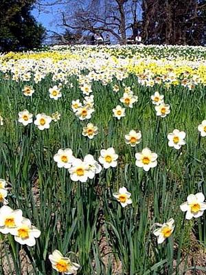 Цветы луковичные для сада фото с названиями